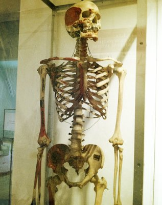Hanging human skeleton in glass case