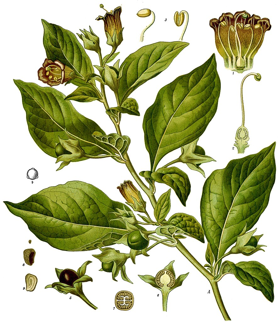 A scientific illustration showing the inside of the Belladonna plant. Wikimedia Commons.